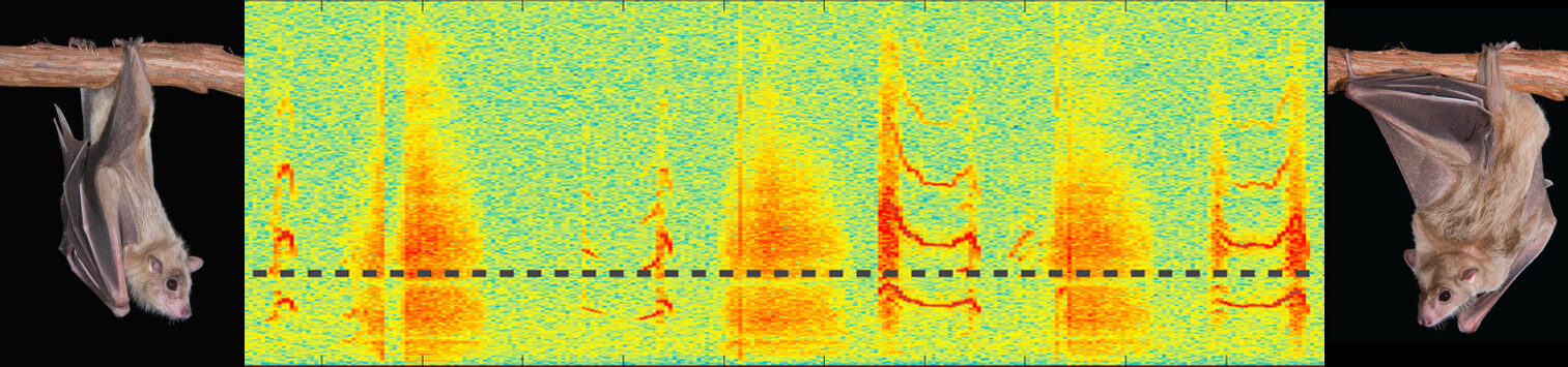"Spectrogram showing a ""conversation"" (social communication calls) between a pair of acoustically interacting bats."