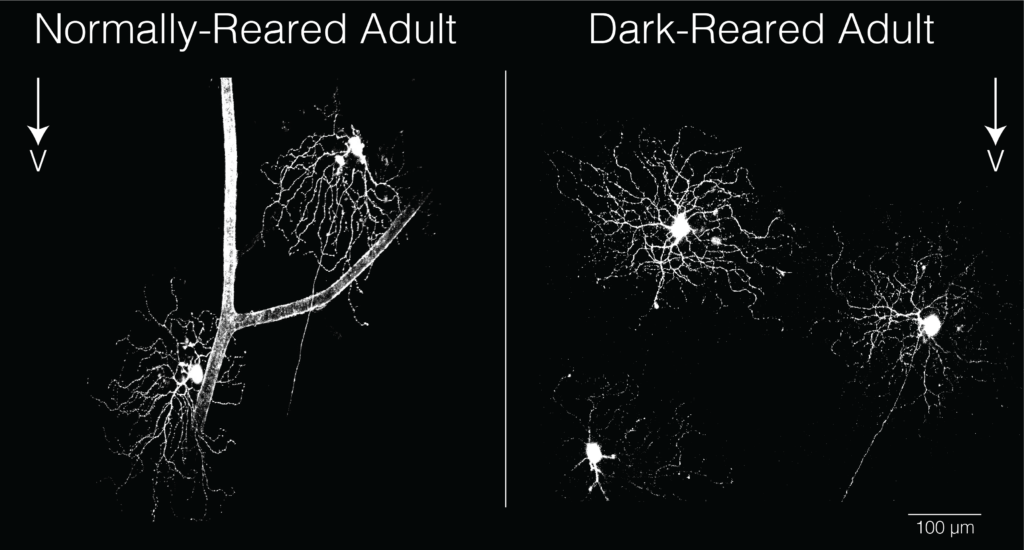 Ventral-preferring directionally-selective ganglion cells (vDSGCs) in animals reared normally have dendrites that also point ventrally (towards bottom of image). vDSGCs from animals reared in the dark have randomly oriented dendrites, but are still tuned to ventral motion. Image: Feller lab.