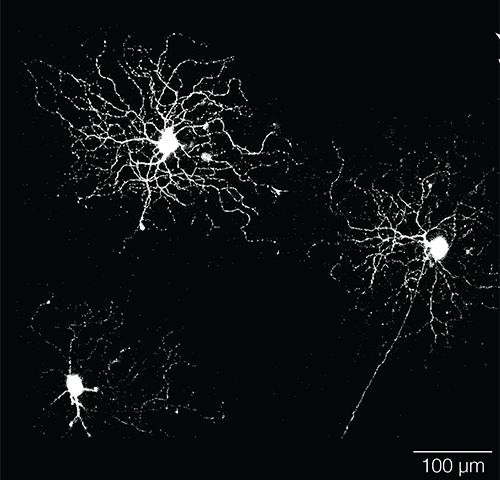 Which way is up? Retinal neurons know, even when light deprivation during development distorts their shape